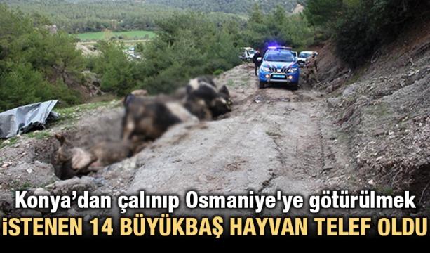 Konya'dan çalınıp Osmaniye'ye götürülmek istenen 14 büyükbaş hayvan telef oldu
