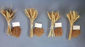 Milli buğdaya 4 yeni çeşit ekleniyor