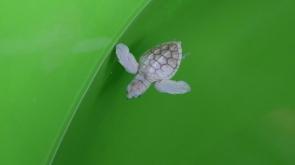 Albino deniz kaplumbağa yavrusu korumaya alındı