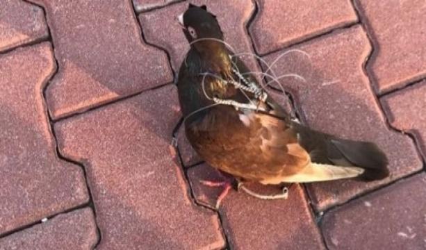 FETÖ'nün posta güvercini yakalandı!