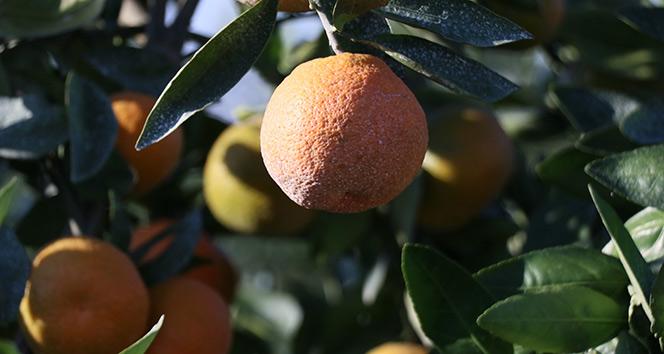 Adana'dan Çin ve Japonya'ya narenciye ihracatı