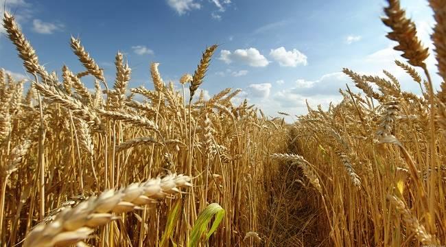 Konya Haber:  Konya Ticaret Borsası Arpa Buğday Fiyatları