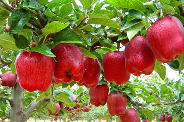 Konya Haber:  Konya Yalıhüyük'te elma rekoltesi 200 ton
