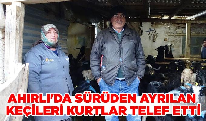 Konya Haber: Konya Ahırlı'da sürüden ayrılan keçileri kurtlar telef etti