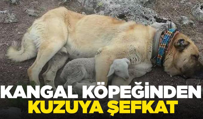 Konya Haber: Kangal köpeğinden kuzuya şefkat