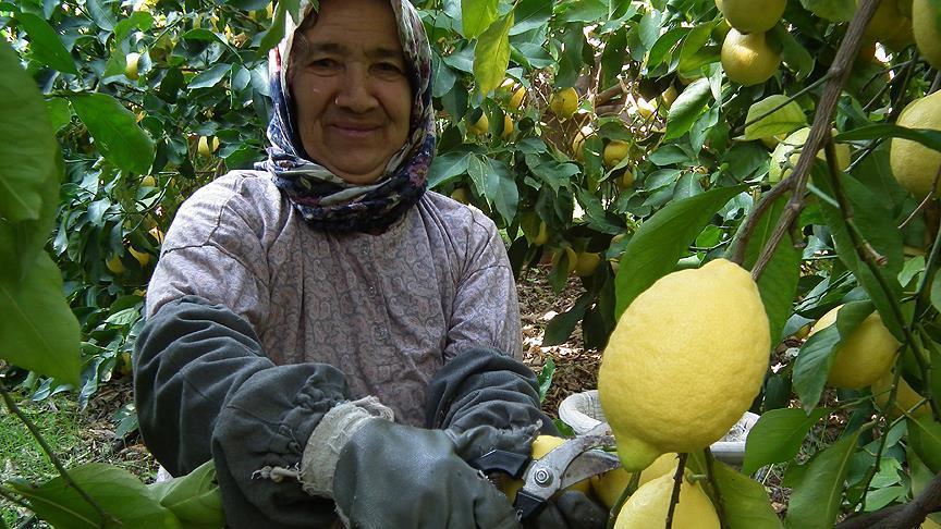 Limon dalında 1 lira 80 kuruştan alıcı buluyor