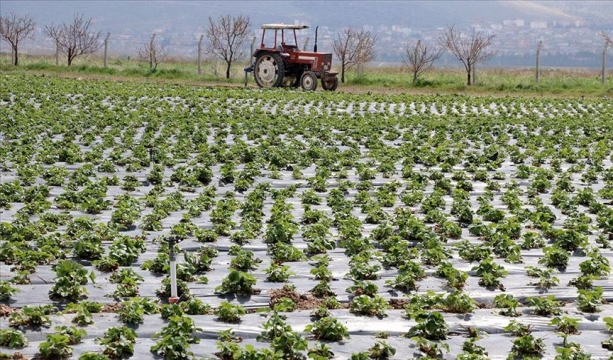 Çilek fidelerinin yarısından fazlası Kayseri'de filizleniyor
