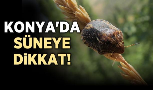 Konya'da süneye dikkat!