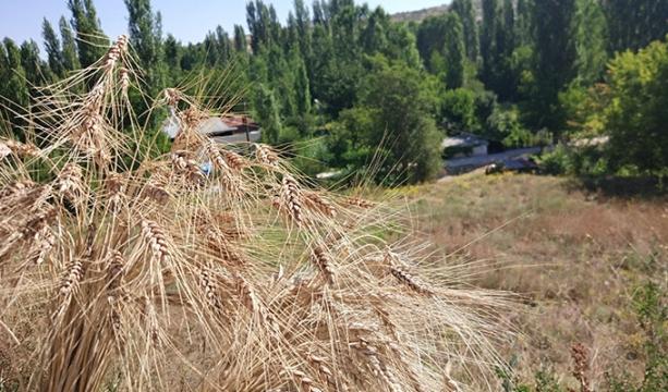 Bozkır'da örnek yerel buğday türleri hasatı